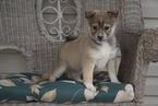 Miniature Australian Shepherd-Pomsky Mix Puppy For Sale in FREDERICKSBG, OH, USA