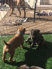 Bullmastiff Puppy For Sale in CONCORD, CA