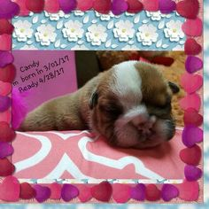 Bulldog Puppy For Sale in LAREDO, TX
