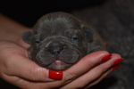 French Bulldog Puppy For Sale in CARNESVILLE, GA, USA