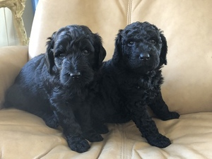 Labradoodle Puppy For Sale in TOWNSEND, DE, USA