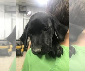 Labrador Retriever Puppy for Sale in PINE ISLAND, Minnesota USA