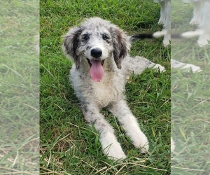 Aussiedoodle Puppy for Sale in DOWELLTOWN, Tennessee USA