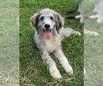 Puppy 1 Aussiedoodle