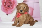 Goldendoodle Puppy For Sale in KISSIMMEE, FL, USA