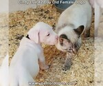 Small Photo #72 Dogo Argentino Puppy For Sale in PINEVILLE, MO, USA