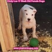 Small Photo #122 Dogo Argentino Puppy For Sale in PINEVILLE, MO, USA