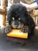 Tibetan Mastiff Puppy For Sale in SHEFFIELD LAKE, Ohio,