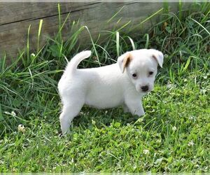Jack Russell Terrier Dog for Adoption in APPLE GROVE, West Virginia USA