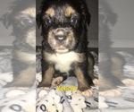 Small Photo #3 Australian Shepherd Puppy For Sale in HAMPTON, VA, USA