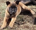 Belgian Malinois Puppy For Sale in WEST PLAINS, MO