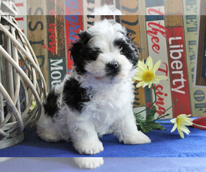 Havanese Dog for Adoption in KODAK, Tennessee USA