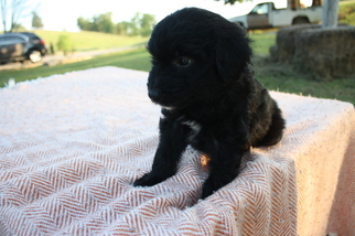 Aussiedoodle Puppy For Sale in COLUMBIA, KY, USA