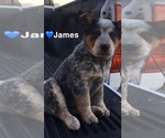 Small #6 Australian Cattle Dog