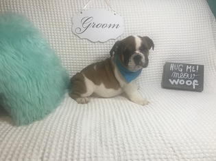 View Ad English Bulldog Puppy For Sale Massachusetts Revere Usa