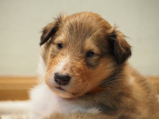 Collie Puppy for sale in LEWIS CENTER, OH, USA