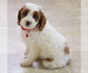 Cavapoo Puppy for sale in BAY VIEW, WI, USA