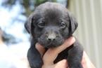 AKC Black Lab Puppies