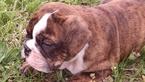 English Bulldogge Puppy For Sale in ORANGE, VA