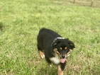 Australian Shepherd Puppy For Sale in MONROE, GA, USA