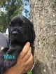Cane Corso Puppy For Sale in MIAMI, FL,