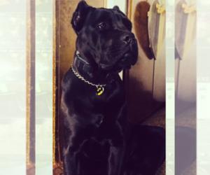 Cane Corso Puppy for Sale in HESPERIA, California USA
