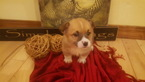 Pembroke Welsh Corgi Puppy For Sale in HARTVILLE, Missouri,