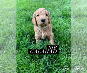 Labradoodle Puppy for Sale in ALBUQUERQUE, New Mexico USA