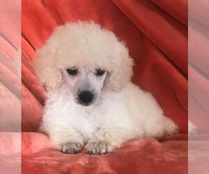 Poodle (Toy) Puppy for Sale in FORT MORGAN, Colorado USA