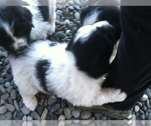 Great Pyrenees-Newfoundland Mix Puppy for sale in LOVELL, WY, USA