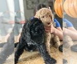 Small Photo #17 Poodle (Standard) Puppy For Sale in TAMPA, FL, USA