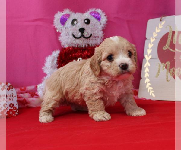 View Ad: Cavapoo Puppy for Sale near Kansas, CHANUTE, USA ...