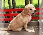 Small #6 Goldendoodle-Poodle (Miniature) Mix