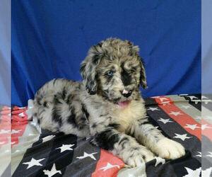 Newfoundland-Poodle (Standard) Mix Puppies for Sale in USA, Page 1