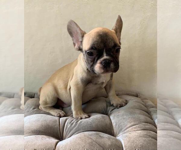 Medium Photo #6 French Bulldog Puppy For Sale in CHARLESTON, SC, USA