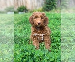 Small #8 Australian Labradoodle