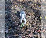 Small #14 Boston Terrier