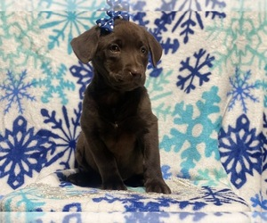 Labrador Retriever Puppy for Sale in CEDAR LANE, Pennsylvania USA