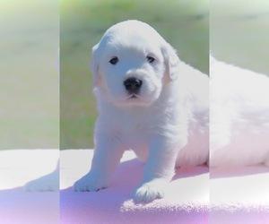 English Cream Golden Retriever Puppy for sale in NAPPANEE, IN, USA