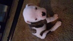 American Bulldog Puppy For Sale in JERSEYVILLE, IL, USA