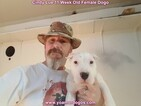 Small Photo #129 Dogo Argentino Puppy For Sale in PINEVILLE, MO, USA