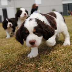 View Ad: English Springer Spaniel Puppy for Sale near South