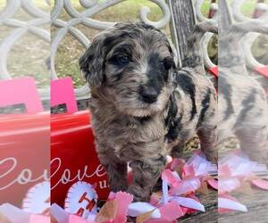 Labradoodle Puppy for Sale in LADY LAKE, Florida USA