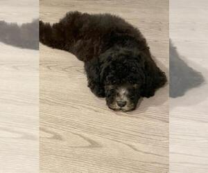 Poodle (Standard) Puppy for Sale in ORLANDO, Florida USA