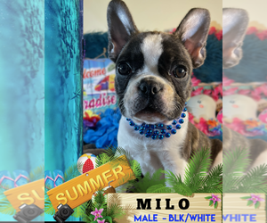 French Bulldog Puppy for sale in HEATHROW, FL, USA