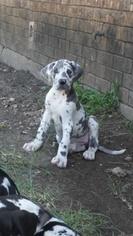 Great Dane Puppy For Sale in RED OAK, TX, USA