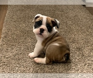 English Bulldog Puppy for sale in COLUMBUS JUNCTION, IA, USA