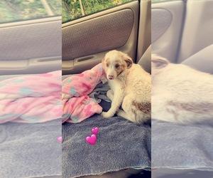 Australian Shepherd Puppy for sale in FITCHBURG, WI, USA