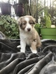 Australian Shepherd Puppy For Sale in WELLBORN, Florida,