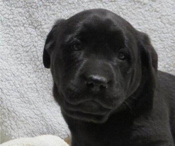 Medium Photo #2 Labrador Retriever Puppy For Sale in MILLERSBURG, OH, USA